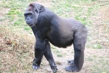 Western lowland gorilla Calaya is in her third trimester.