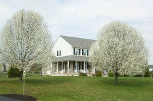 Two callery pear trees planted in front of a home with white vinyl and stone siding, a wraparound front porch and a freshly cut lawn