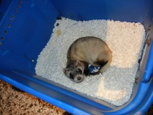 Black-footed ferret Capone
