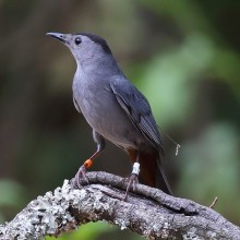 Gray catbird. Photo courtesy of Dan Vickers.