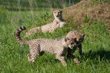 Two cheetah cubs playing in the grass as their mother watches in the background