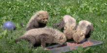 4 cheetah cubs eat ground meat off of a metal tray