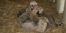 A group of cheetah cubs sits in the straw at the Smithsonian Conservation Biology Institute