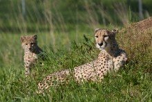 An adult cheetah laying in the grass with her cub
