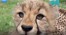 Cheetah cub at SCBI July 24, 2020