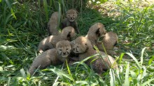 Cheetah cubs in their yard at the Smithsonian Conservation Biology Institute.