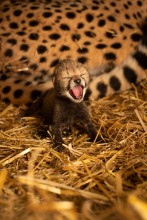 One of the first two cheetah cubs born via embryo transfer.