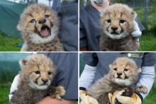 Cheetah cubs Hasani, Amabla, Erindi and Jabari at the Smithsonian Conservation Biology Institute.