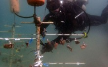 "Suspended from a ""tree"" above the sea floor, these corals are teaching Smithsonian Conservation Biology Institute scientist Mike Henley whether corals grown in warmer waters fare better than their cold-water counterparts."