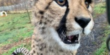 One of cheetah Echo's cubs shows its developing teeth to its keeper.