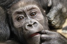 Moke, the Zoo's 9-month-old western lowland gorilla at the Great Ape House.