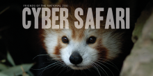 red panda with title Cyber Safari