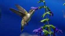 A small hummingbird in flight drinks nectar from a flower