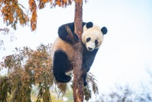 Giant panda Bei Bei hangs onto a tree high up in the air