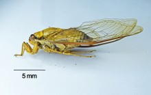 """Cicadas like this one belong to the order of """"true bugs"""" (Hemiptera) and are among those attracted to artificial light at night."""