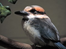 "A 41-day-old female Guam kingfisher chick perched on a branch. She is small with a wide, flattened beak, orange and blue feathers, and a ""mask"" of dark feathers around her eyes"