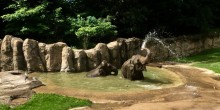 Two Asian elephants wading in a pool, surrounded by sand, grass and trees. One elephant sprays water from its trunk.