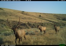 A camera trap photo of three elk with large antlers moving through grasslands in Montana