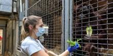 Primate keeper, Emily, feeds orangutan, Bonnie