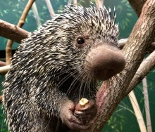 Prehensile-tailed porcupine Quillbur at the Small Mammal House.