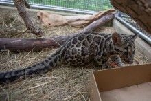 Clouded leopard cub Paitoon playing with a box.