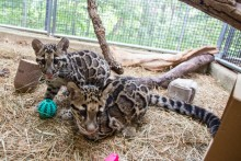 Clouded leopard cubs Jilian and Paitoon sitting side-by-side.