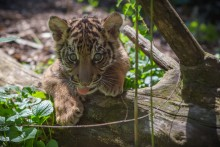 a tiger cub peers over a log