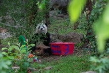 "Giant panda Bei Bei sits down to eat a piece of a decorative ice cake he received for his third birthday. Next to him is a bin of treats. The bin says ""Happy Bei Day"" and ""3"""