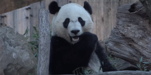 giant panda bei bei eating bamboo