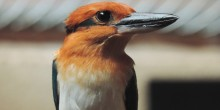 A Guam kingfisher named Giha at the Smithsonian Conservation Biology Institute. It is a small, colorful bird, with a stripe that runs from its eye to the back of its head and wide, flattened bill