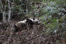 A wild giant panda at Guanyinshan Nature Reserve in China