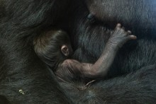 Western lowland gorilla Moke with mother Calaya