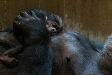 Western lowland gorilla Moke rests on the chest of his mother, Calaya, who is laying on her back
