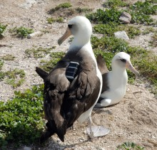 A Laysan albatross wearing a GPS device.