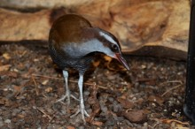 A small, flightless bird called a Guam rail with long legs and toes, and brown and silver fur walks through a mulchy habitat at the Smithsonian Conservation Biology Institute