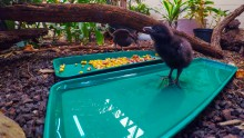 A Guam rail chick standing in a tray of water, and an adult Guam rail standing on the ground behind it