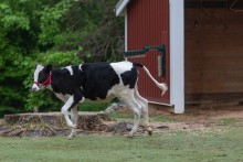 Holstein cow Magnolia frolics at the Kids farm.