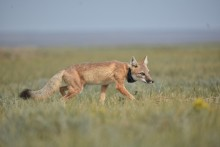A swift fox wearing a GPS tracking collar walks through grasses in the open prairie of North-central Montana