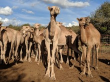 A group of camels stands together on soft dirt under a blue, cloudy sky in Kenya