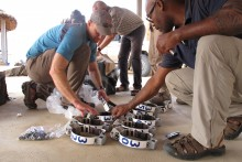 SCBI postdoc Jared Stabach helps prepare GPS collars to fit on 21 oryx.