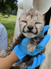 One of Sukiri's cubs during a brief health check.