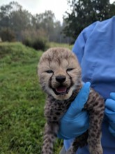 A keeper holding one of Sukiri's cubs during a quick health check.
