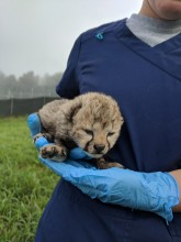 A keeper holding one of cheetah Sukiri's cubs during a quick health check.