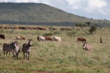 Wildlife in Kenya.