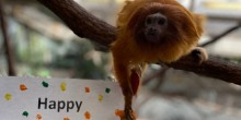 "A small monkey, called a golden lion tamarin, reaches for a fruit treat that is hanging next to a sign that says ""Happy Volunteer Appreciation Week"" (only the word ""happy"" is visible in the photo)"