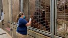 Primate keeper administers vaccine to Bornean orangutan through safety mesh barrier