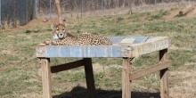 One of the 11-month-old cheetah cubs lays on a fire hose hammock bed in its yard.