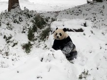 Giant panda sitting in the snow