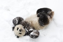 Giant panda Tian Tian plays in the snow.