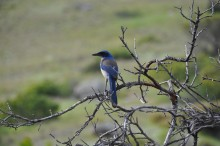 Island scrub-jay. Photo courtesy of Cameron Ghalambor.